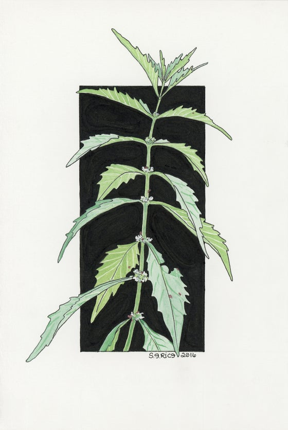 Image of Bugleweed