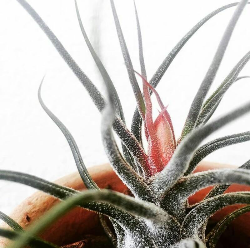 Image of terrario pruinosa
