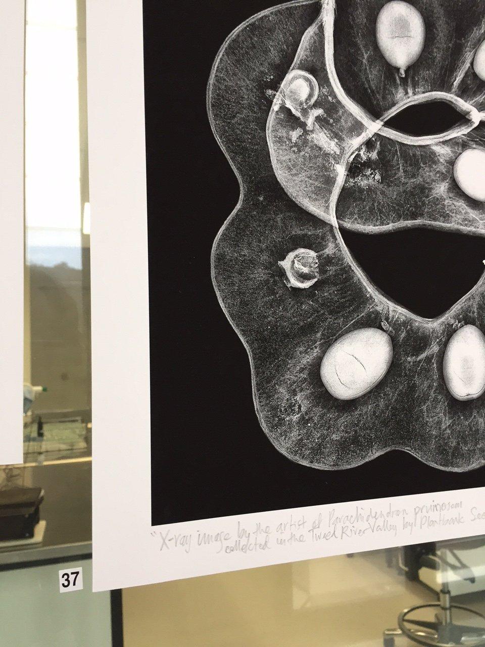 Image of XRAY IMAGE: Parachidendron pruinosum