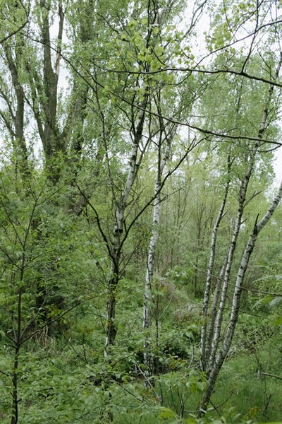Image of Birches in a Shrubbery (2015)
