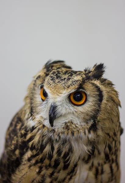 Image of Japanese Owl