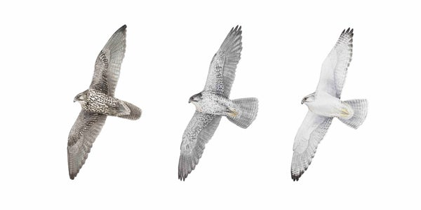 "Image of 10x20"" Gyrfalcons in Flight"
