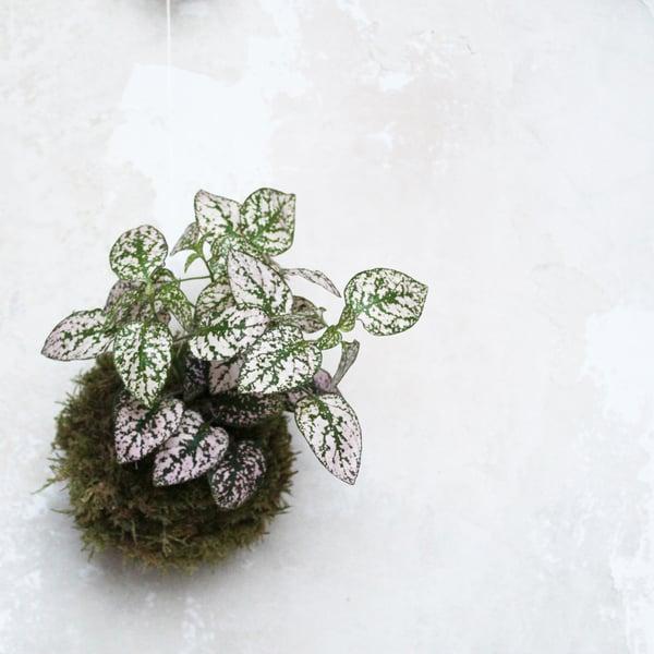 Image of Kokedama | Fittonia rosa pequeña
