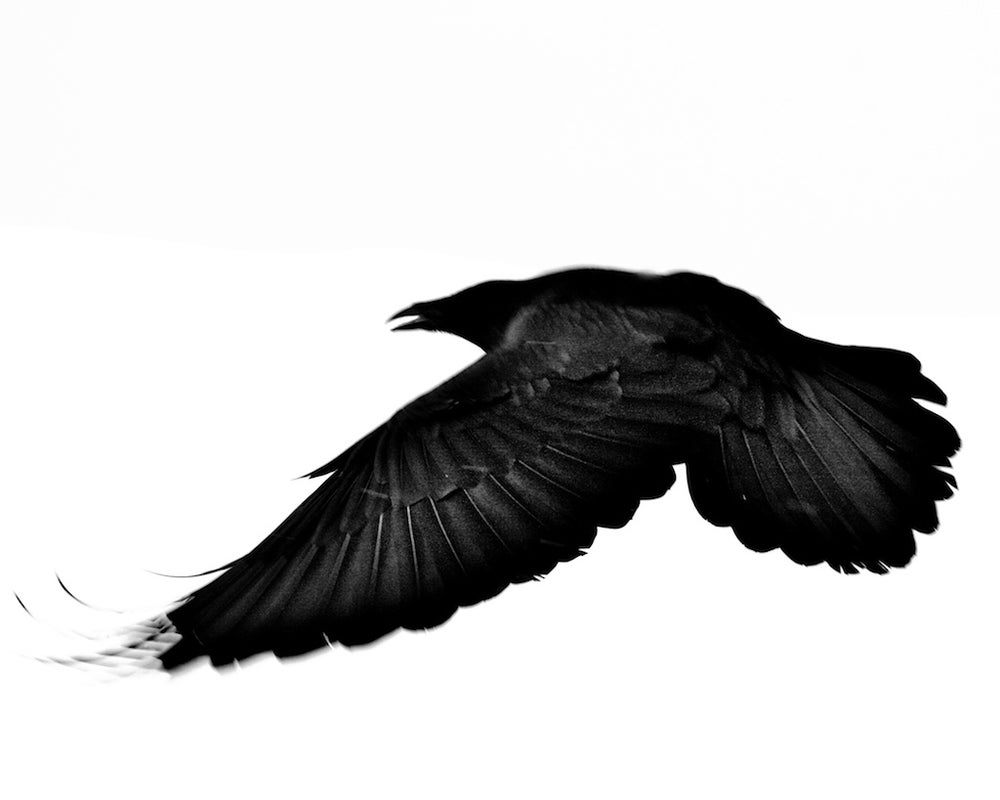 Image of Montana Dark Bird