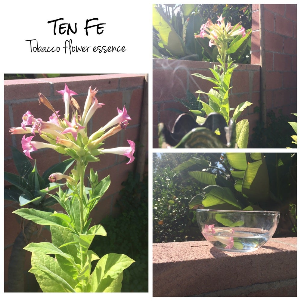 Image of Tobacco Flower Essence