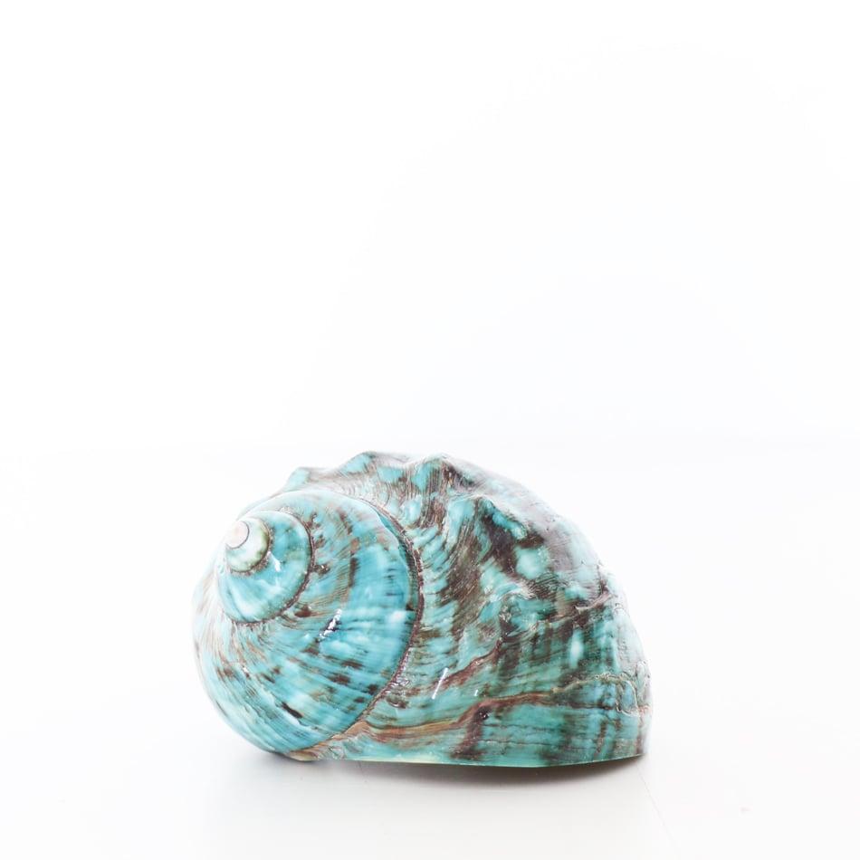 Image of Turquoise Turbo Shell