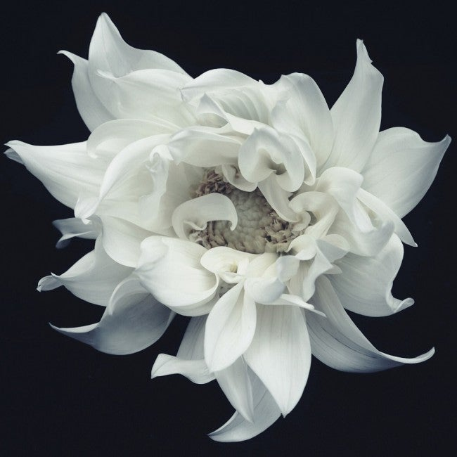 Image of The Dahlia
