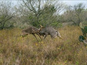 Image of SOLD OUT -Whitetail Rattling Expedition - San Antonio Viejo Ranch
