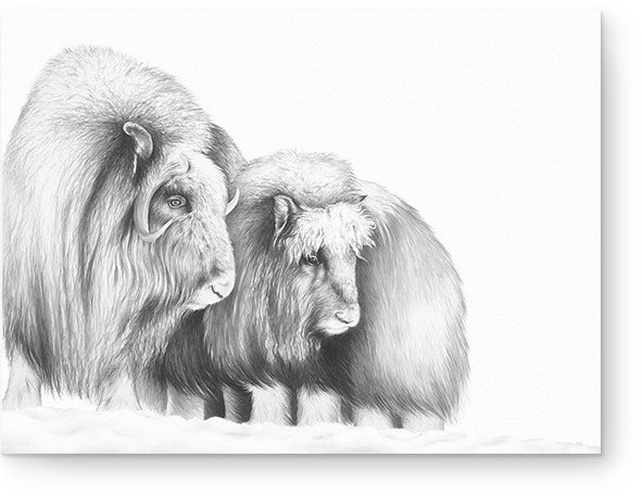 Image of 'Unclear Ground' - Musk Ox