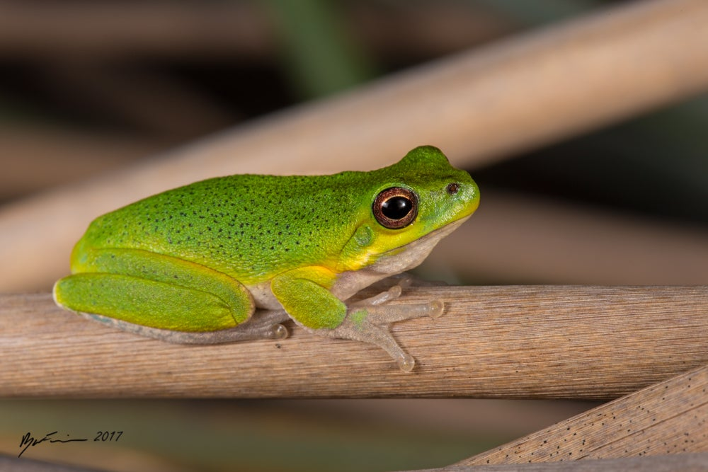 Image of Cooloola Sedge Frog (Litoria cooloolensis)
