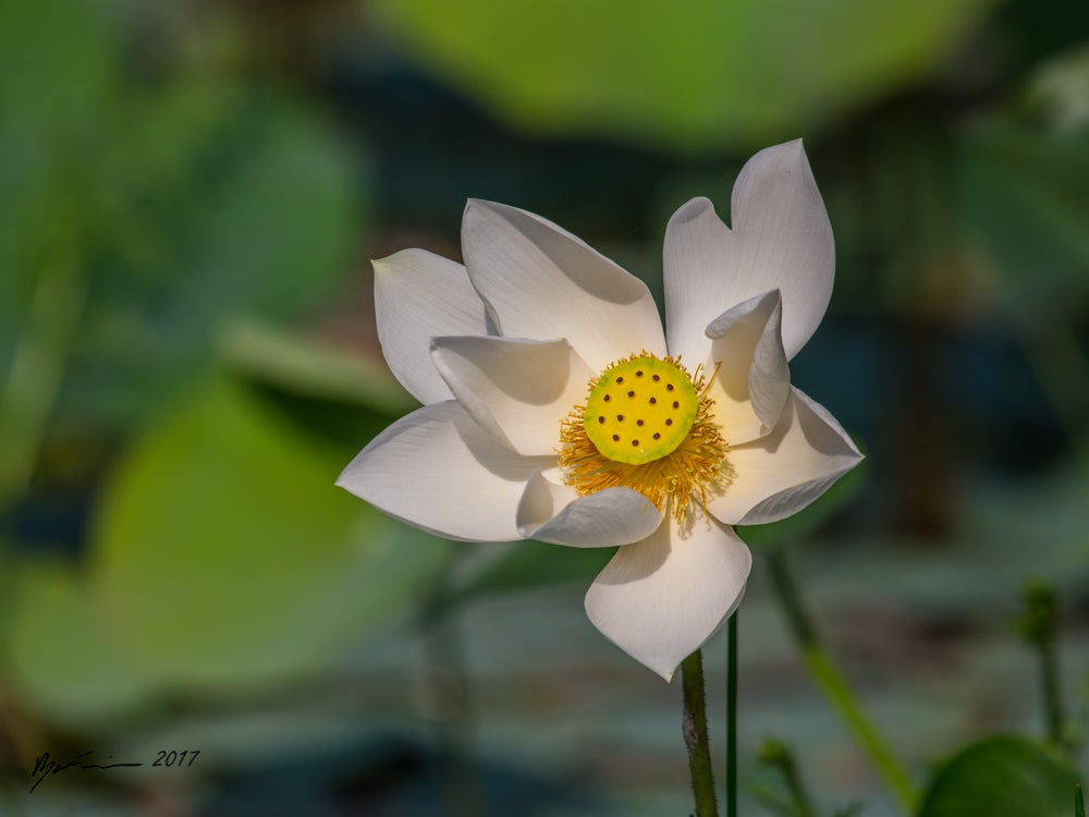 Image of Lotus Flower (Nelumbo nucifera)