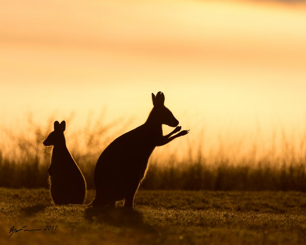 Image of Red-Necked Wallabies- Silhouette (Macropus rufogriseus)