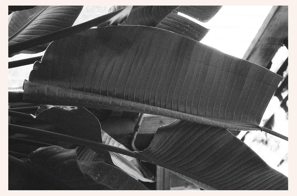 Image of pescadero plant
