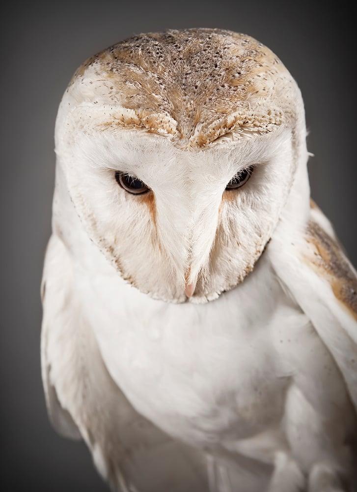 Image of Tyto alba (Barn Owl)