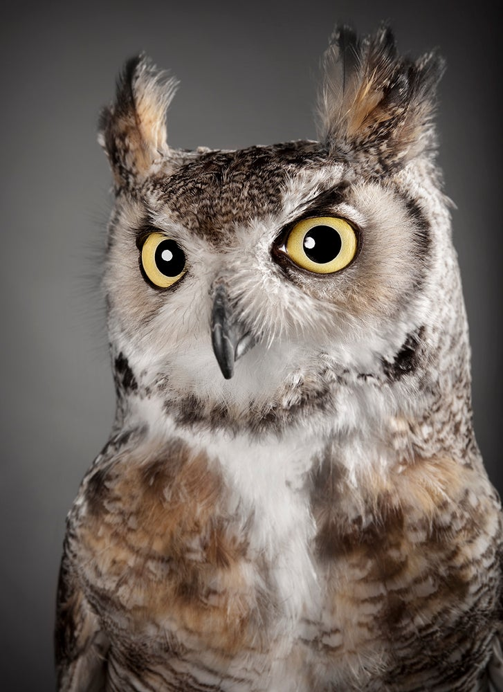 Image of Bubo virginianus (Great Horned Owl)