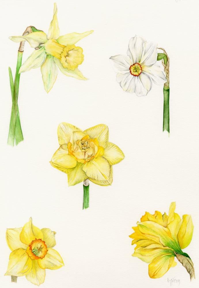 Image of Daffodils - Giclee Print & Greeting card
