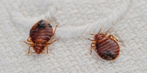 Image of what chemical kills bed bugs