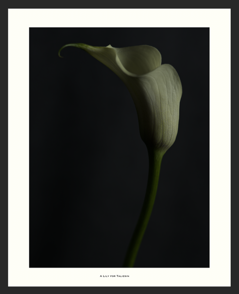 Image of A Lily for Taliesin
