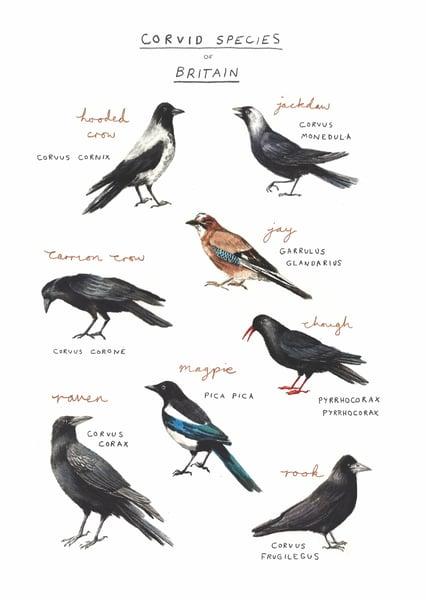 Image of Corvid Species of Britain