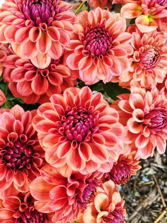 Image of Floral Fundamentals Workshop :: DAHLIA HAPPY HOUR