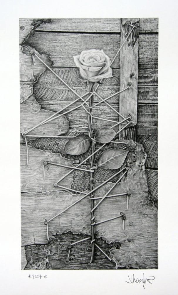 Image of Untitled Rose