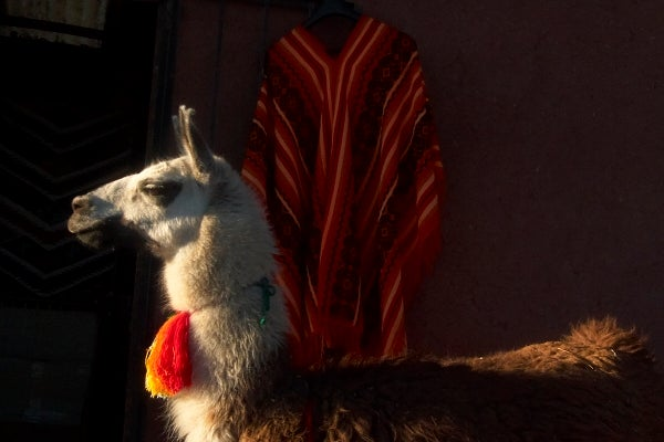 Image of framed print of original photograph - peruvian llama