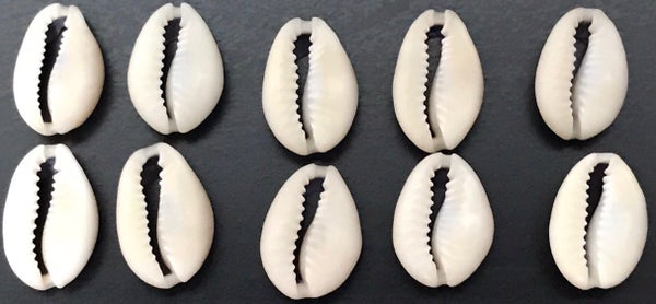 Image of Cowrie Shells Pack
