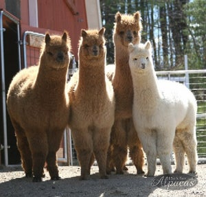 Image of All About Alpacas Workshop - Learn About Alpacas Class Seminar