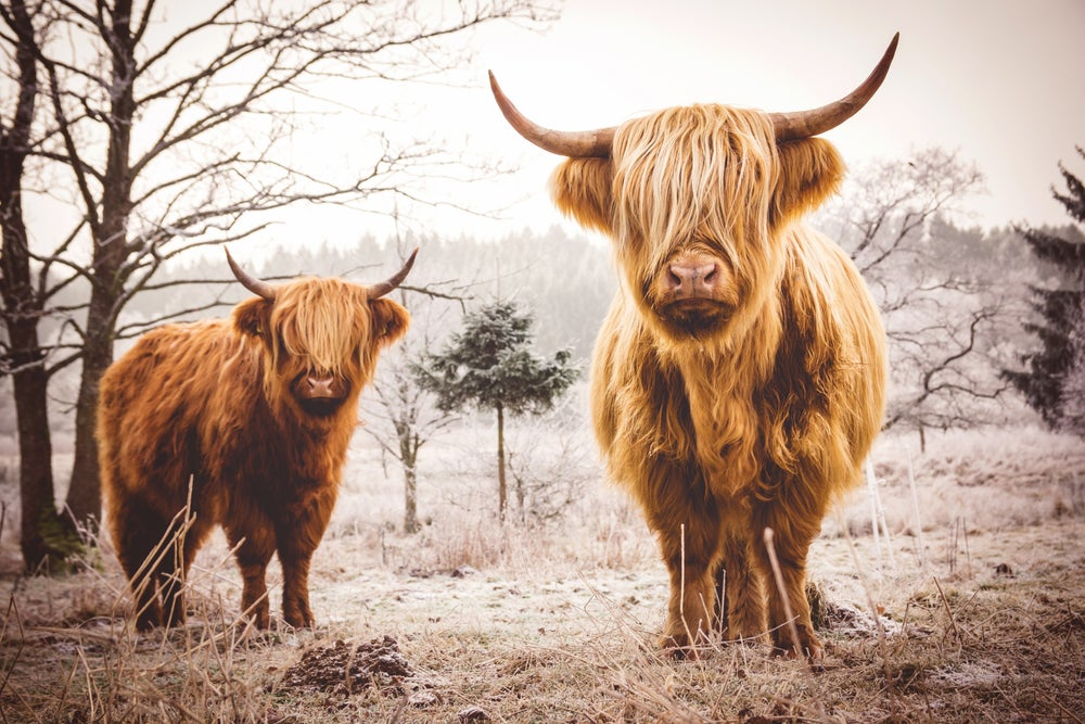 Image of Highland Cattle