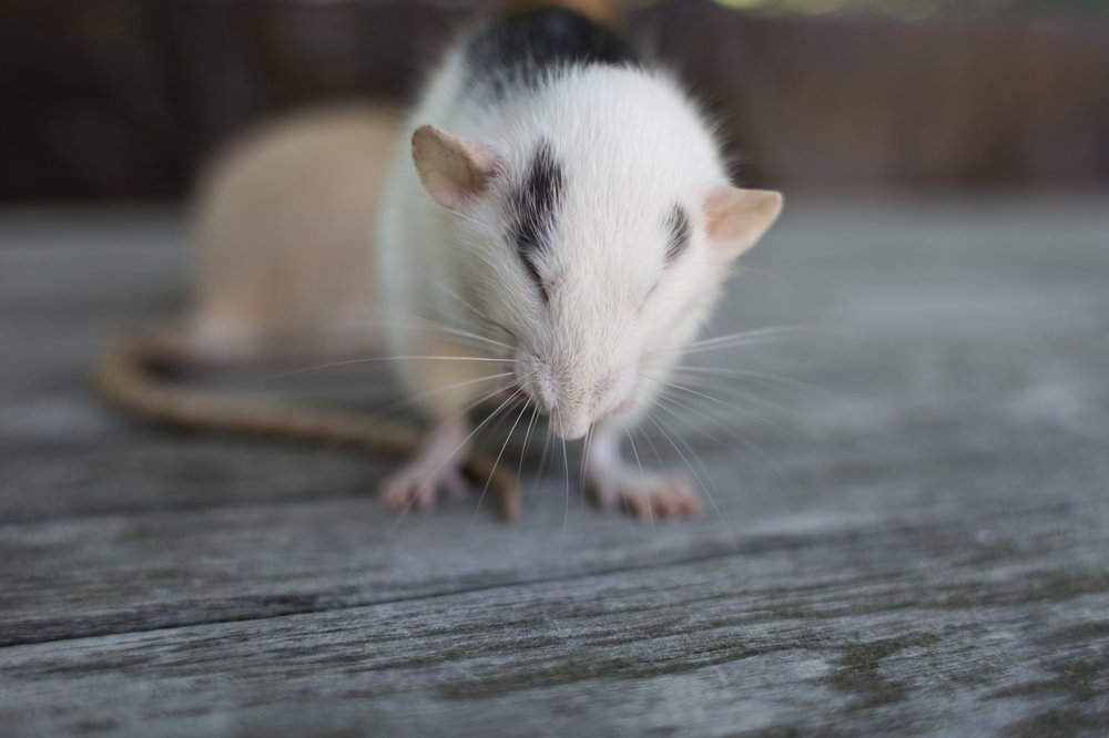 Image of Giggling Ratty