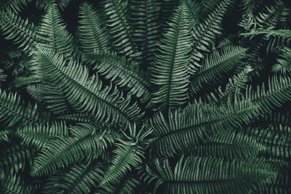 Image of Fern Texture