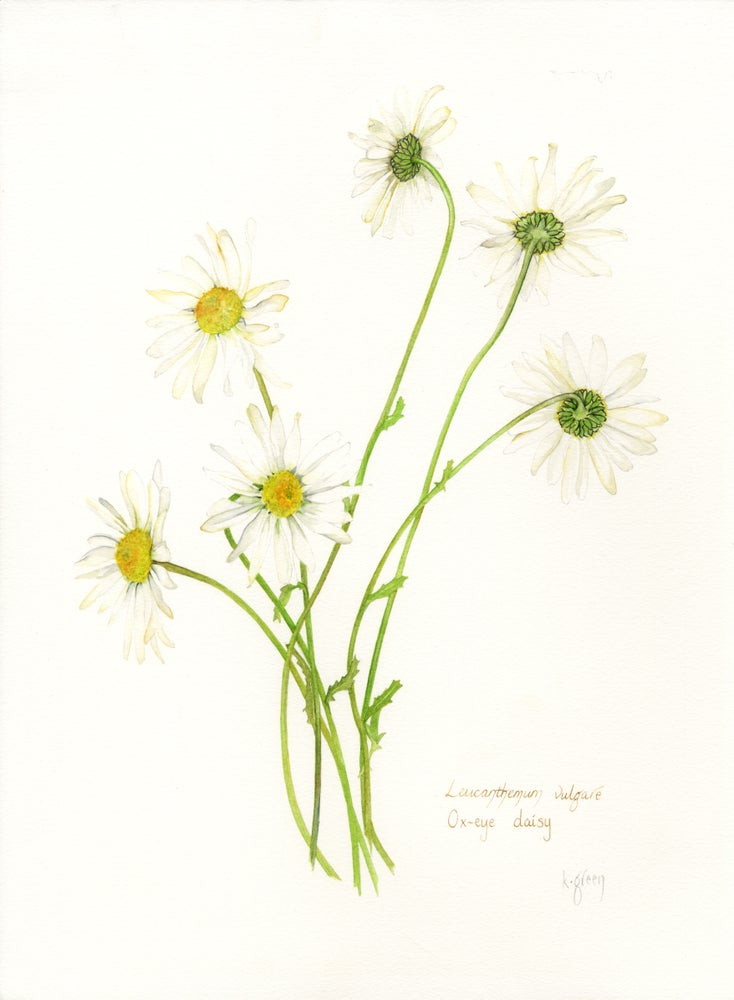 Image of Ox-eye Daisy - Original, prints and cards