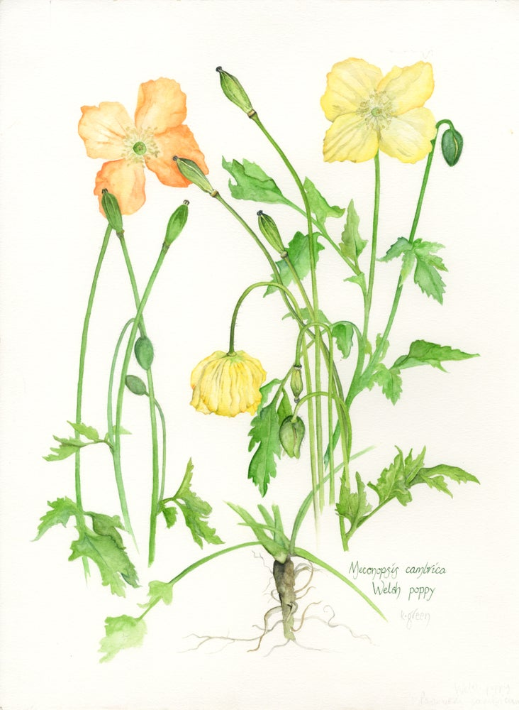 Image of Welsh Poppies, Giclee print and greeting cards