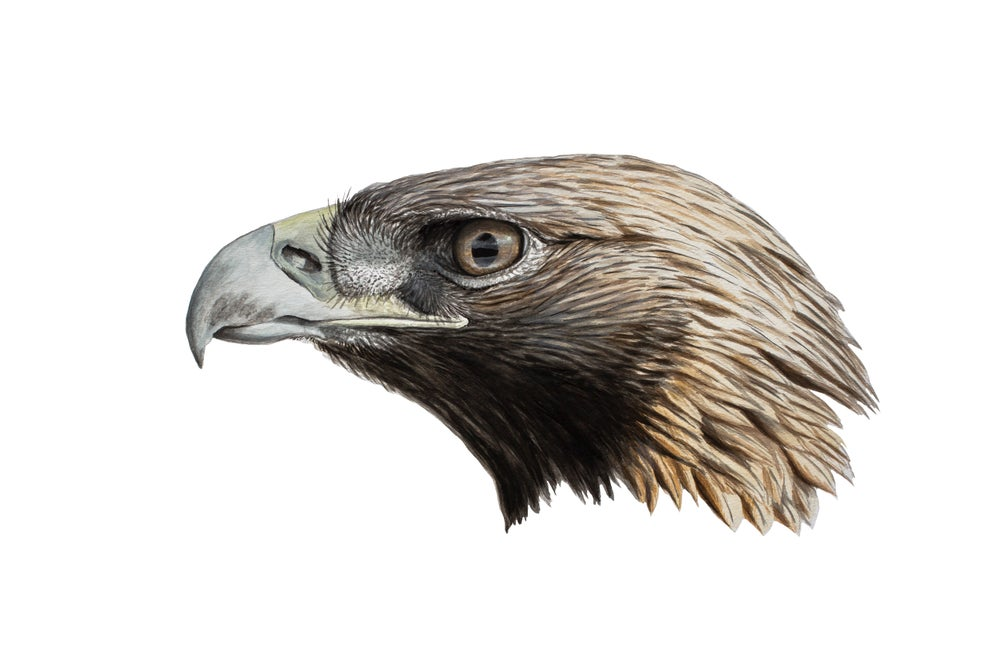 "Image of 11x14"" Limited Giclee Print: Golden Eagle (Aquila chrysaetos)"