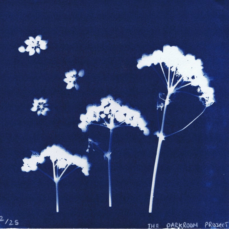 Image of Alexanders : editoned cyanotype print by The Darkroom Project
