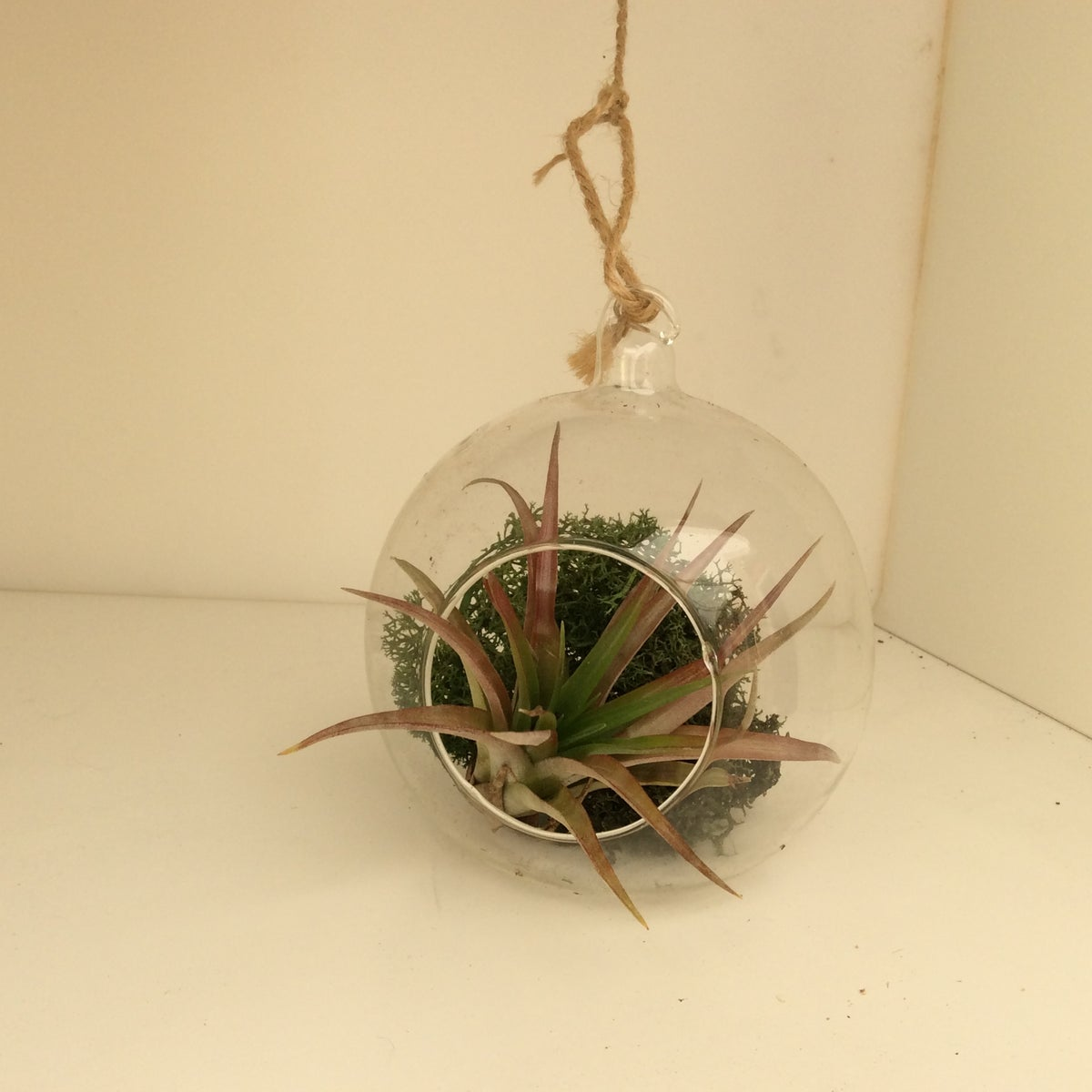Image of Tillandsia in glass