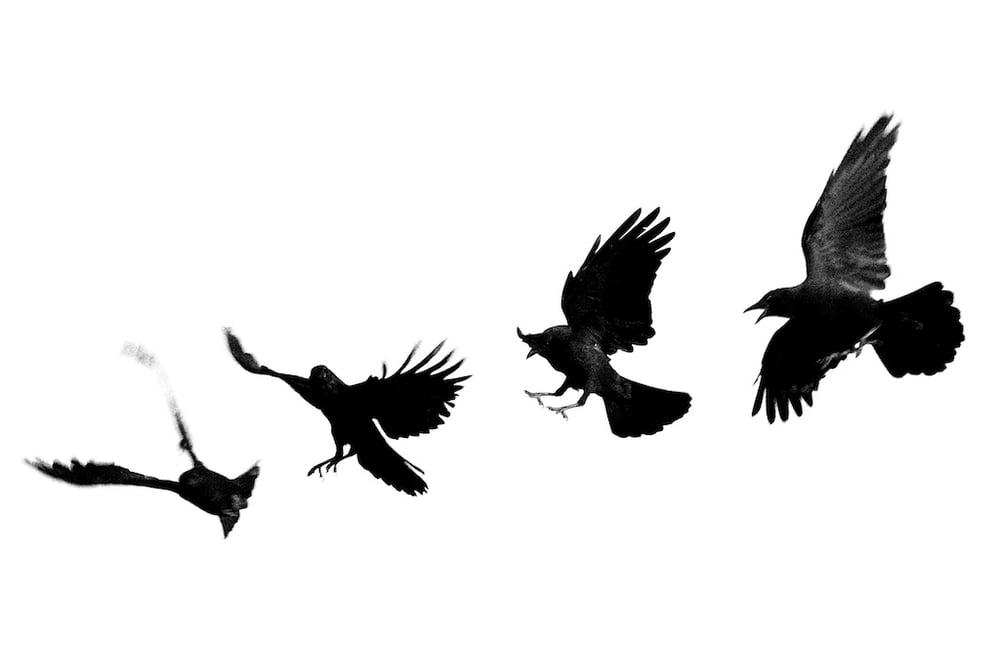 Image of Santa Fe Dark Birds