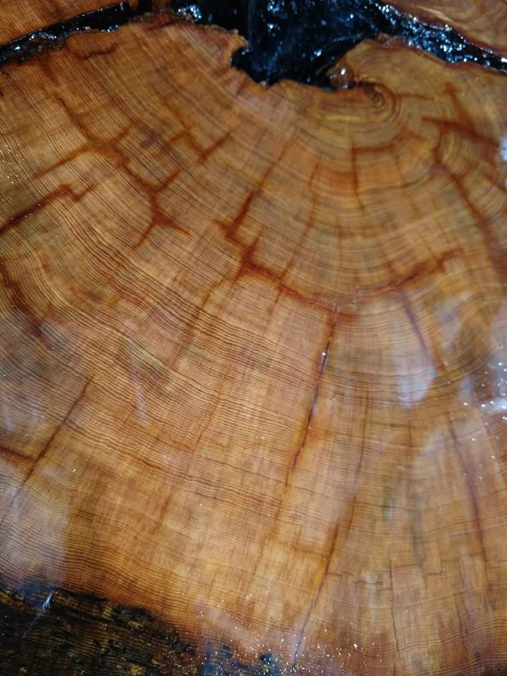 Image of Ol' Bumpy - Oldest Recorded Florida Longleaf Pine