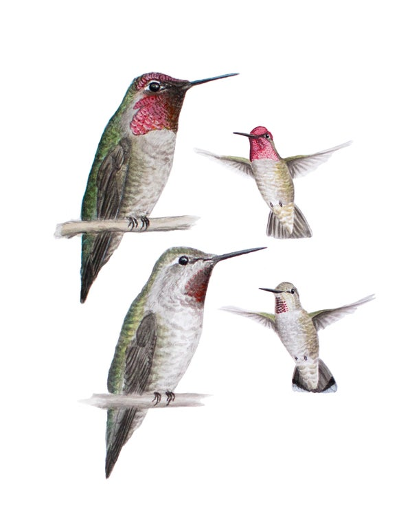 "Image of 8x10"" Limited Giclee Print: Anna's Hummingbird (Calypte anna). Male and female."