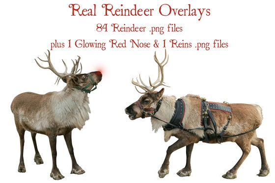 Image of Real Reindeer Set