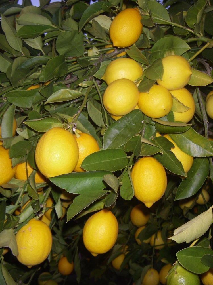 Image of Certified Organic Meyer Lemons - Order by Phone Only!