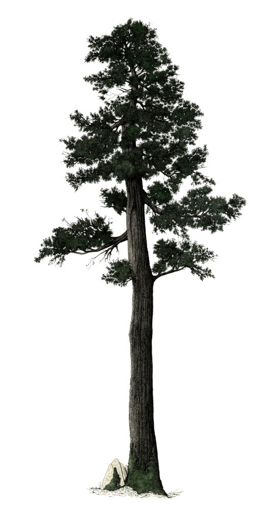 Image of Eastern White cedar