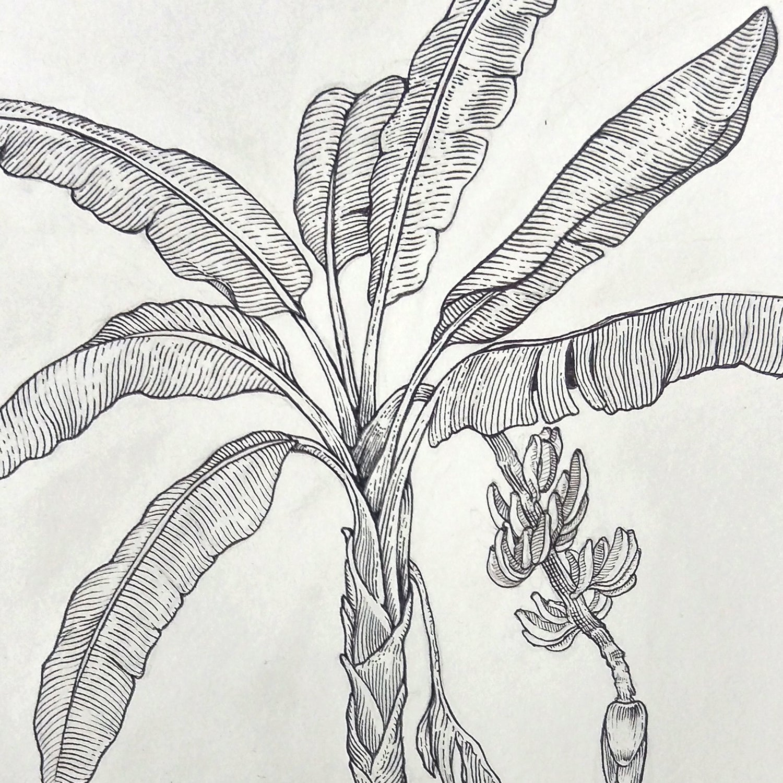 Image of Banana Plant (Musa Acuminata)