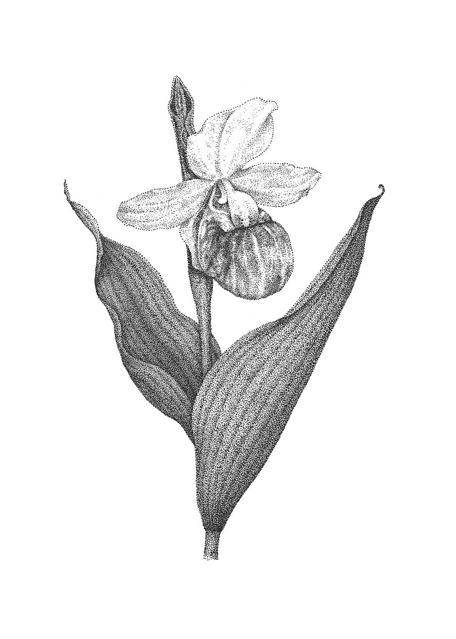 Image of Showy Lady's Slipper