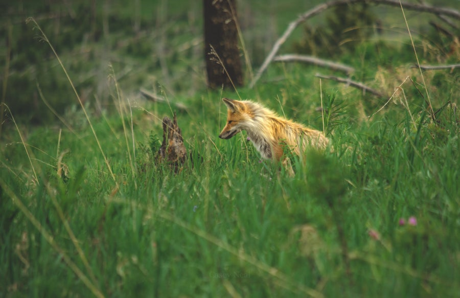 Image of Yellowstone Fox