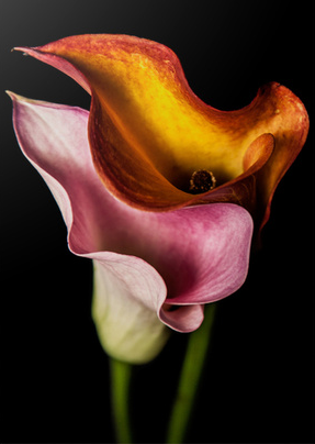 Image of Callas 8 x 10 Art Print with White Border