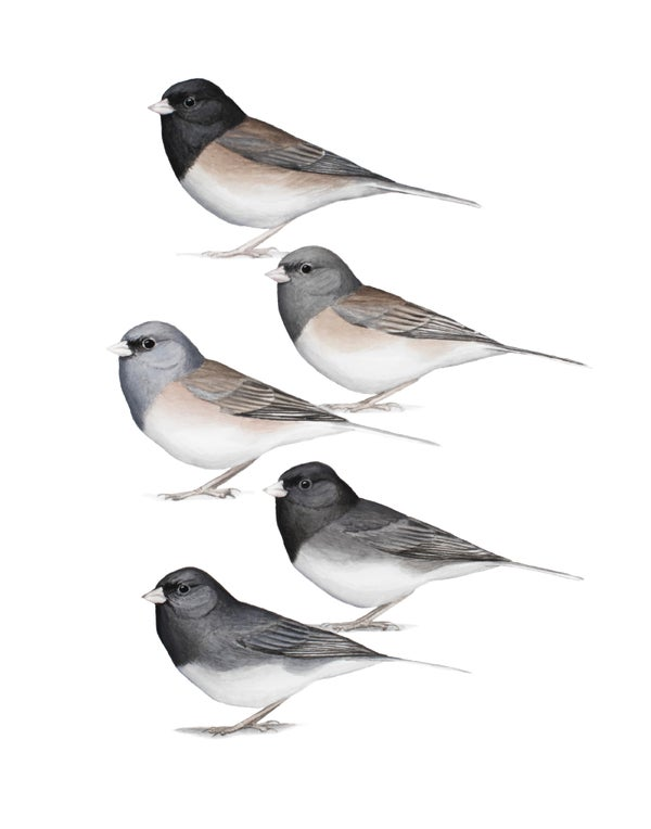 "Image of 11x14"" Limited Giclee Print: Junco hyemalis Plate - Idaho's Winter Subspecies"