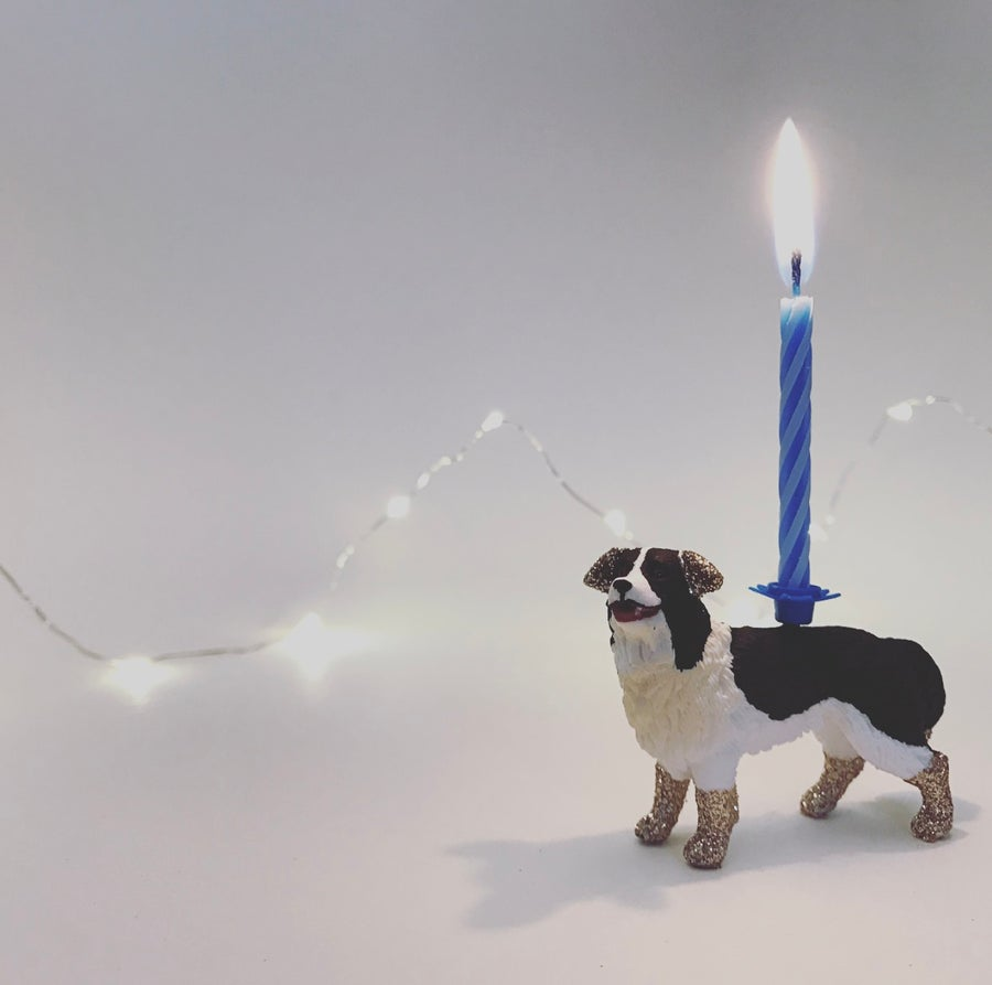 Image of BORDER COLLIE