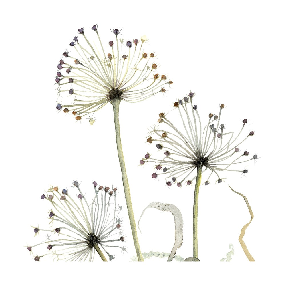 Image of Three Allium