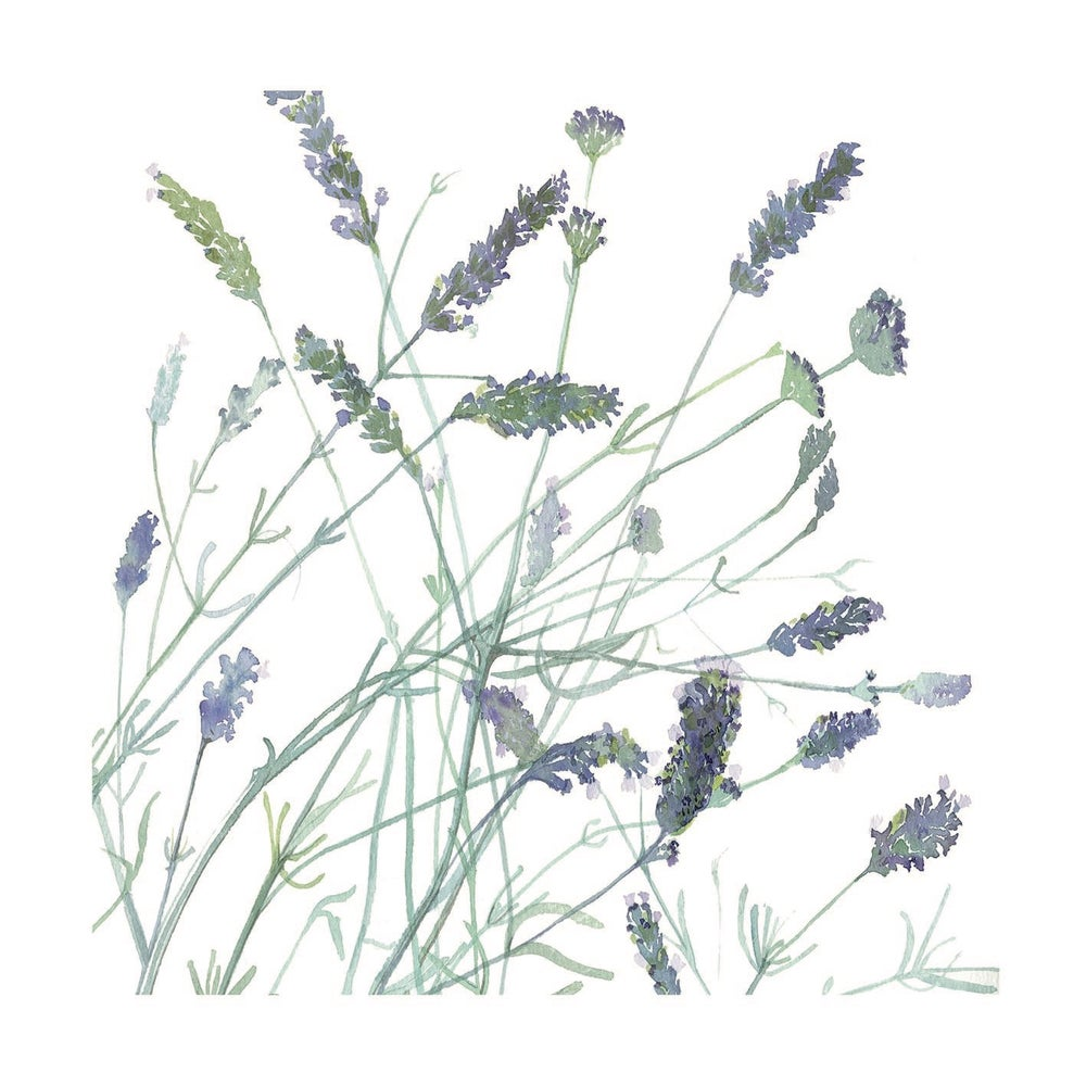 Image of English Lavender